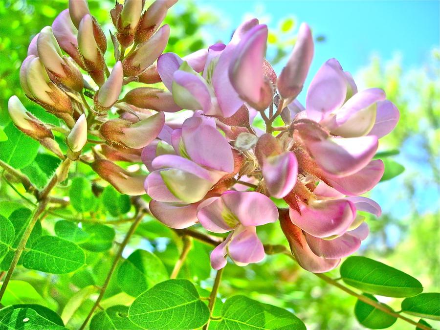 Robinia neomexicana