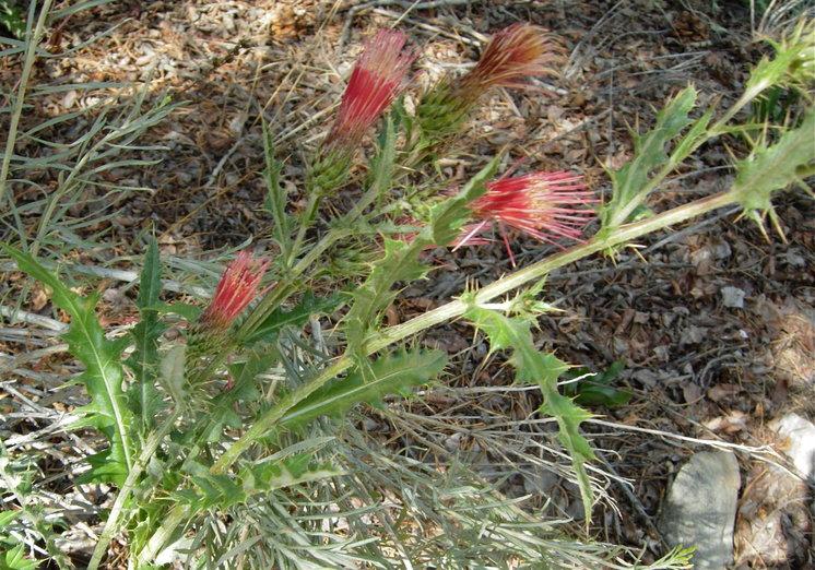 Cirsium arizonicum