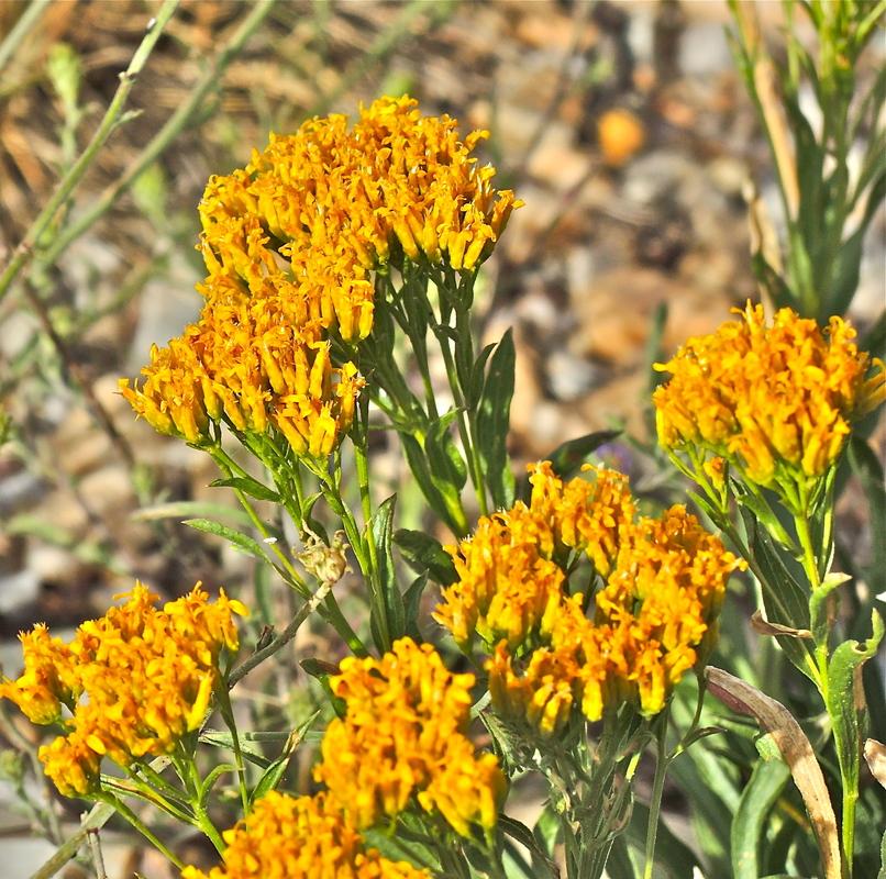 Petradoria pumila ssp. pumila