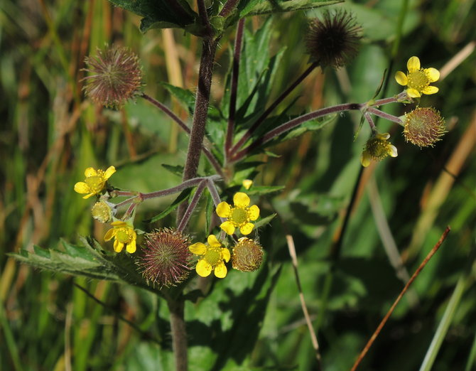 Geum macrophyllum var. macrophyllum