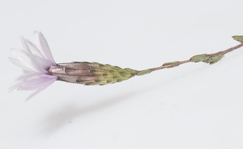 Lessingia micradenia var. glabrata