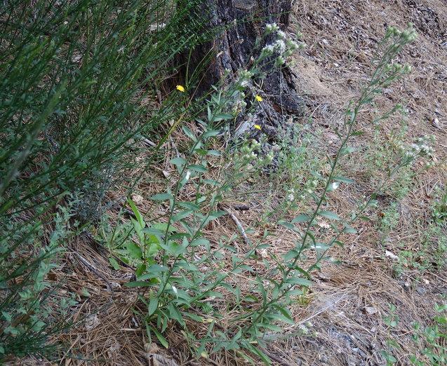Sericocarpus oregonensis ssp. californicus