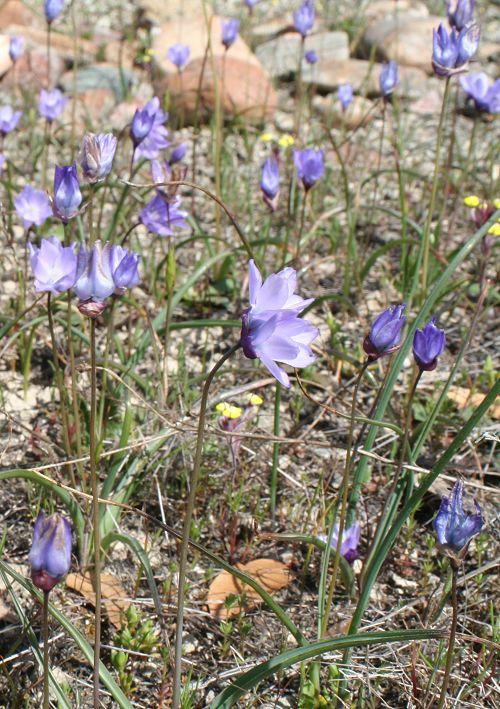 Dipterostemon capitatus ssp. lacuna-vernalis