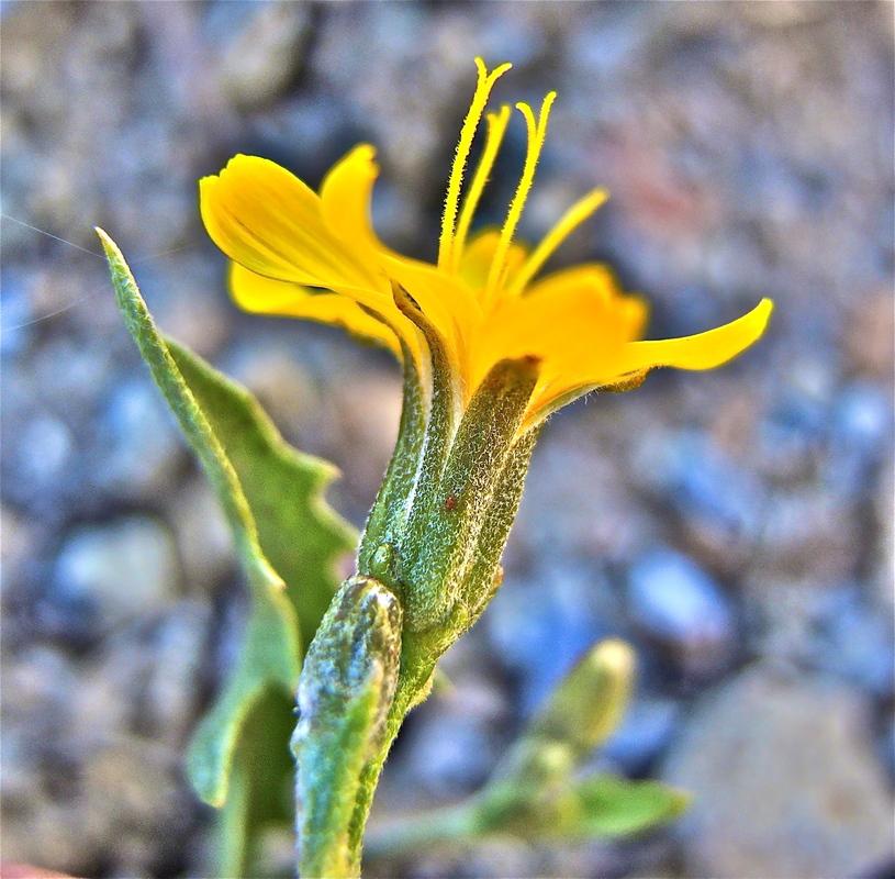 Crepis pleurocarpa