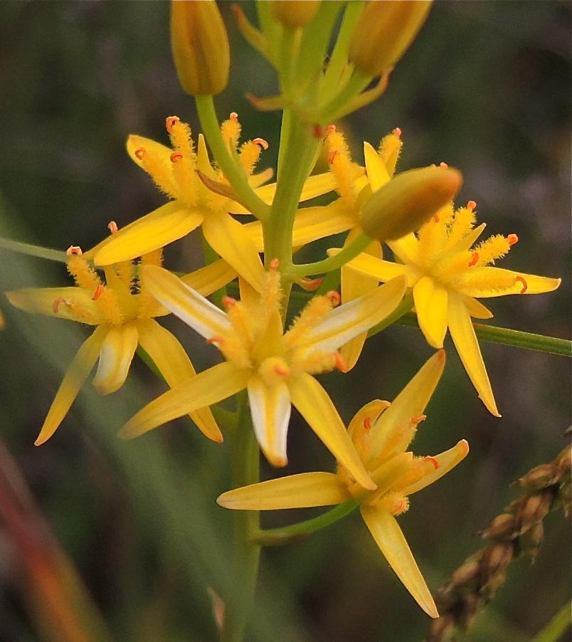 Narthecium californicum