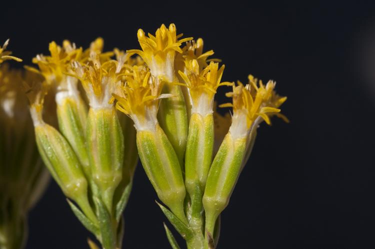 Tetradymia glabrata