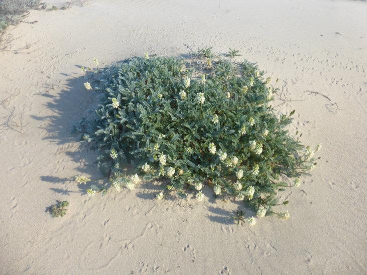 Astragalus nuttallii