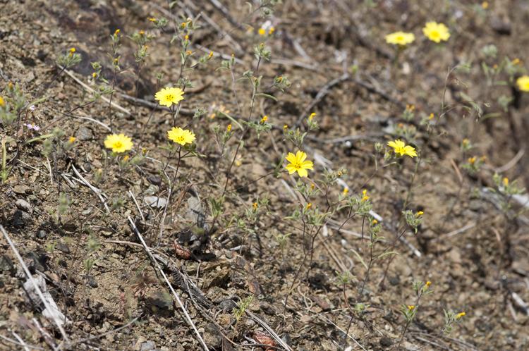 Lagophylla minor