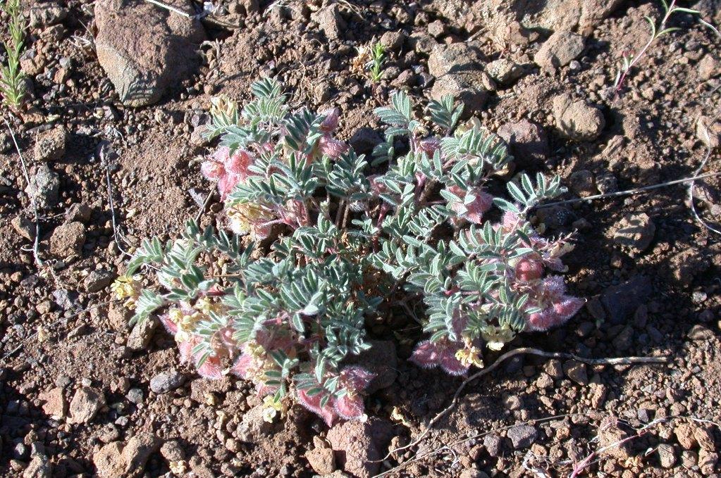 Astragalus pulsiferae var. coronensis