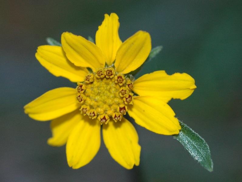 Helianthella californica var. shastensis