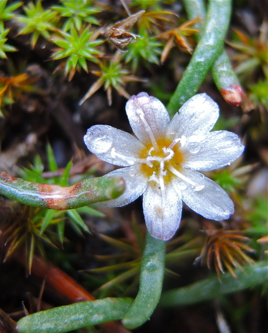 Lewisia triphylla