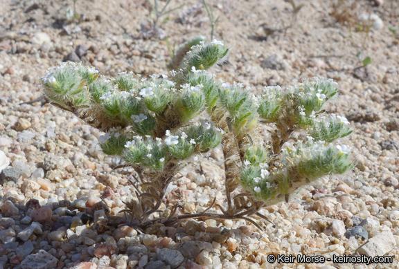 Cryptantha circumscissa var. circumscissa