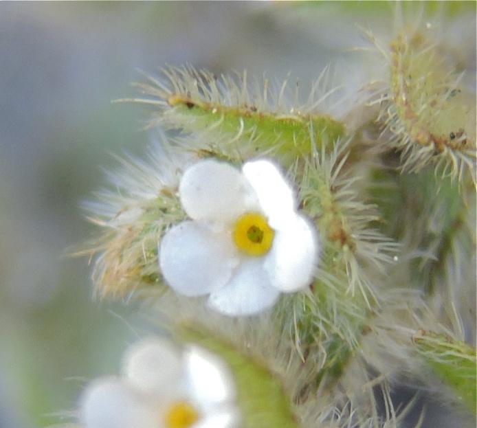 Plagiobothrys torreyi var. perplexans