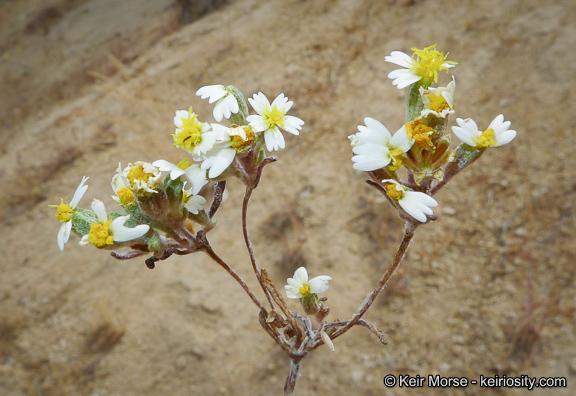 Syntrichopappus lemmonii