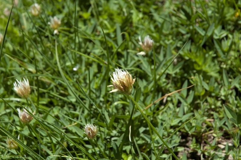 Trifolium longipes ssp. elmeri
