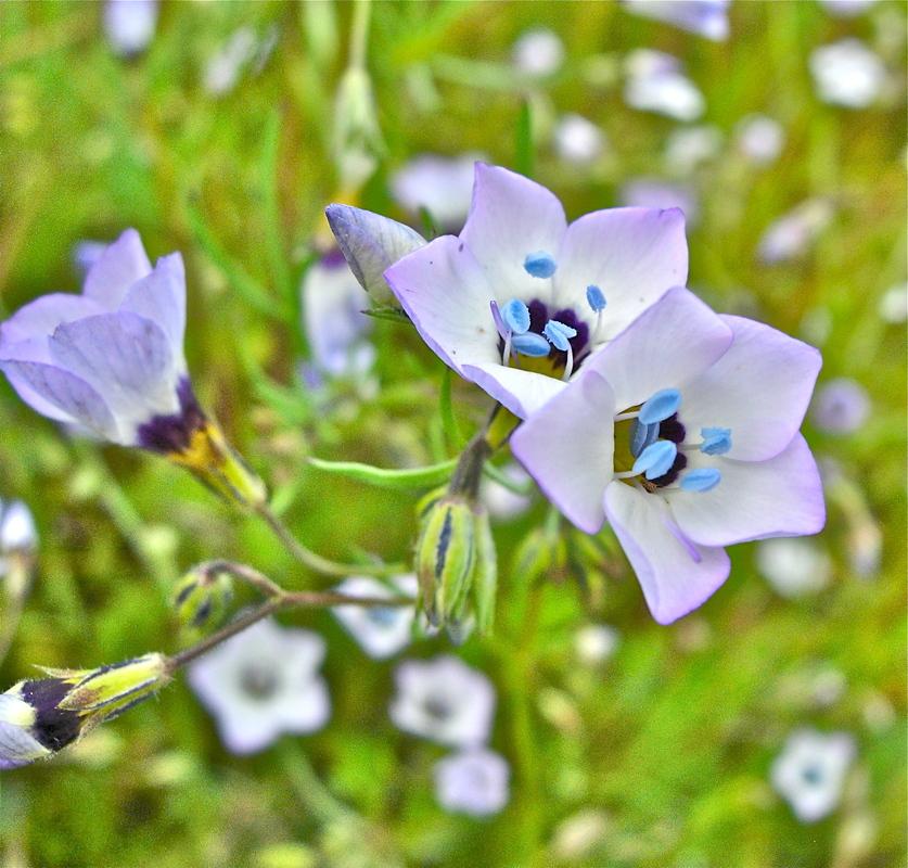 Gilia tricolor ssp. diffusa