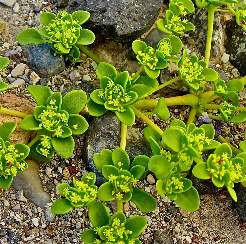 Gilmania luteola