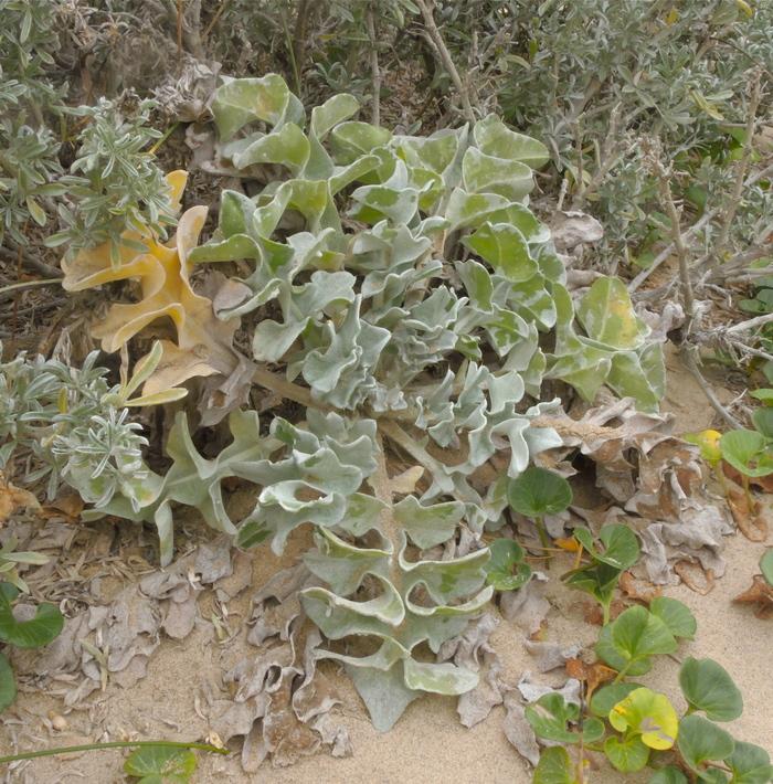 Cirsium rhothophilum