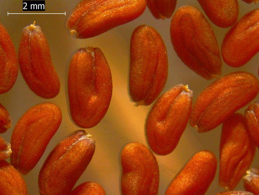 Lepidium sativum