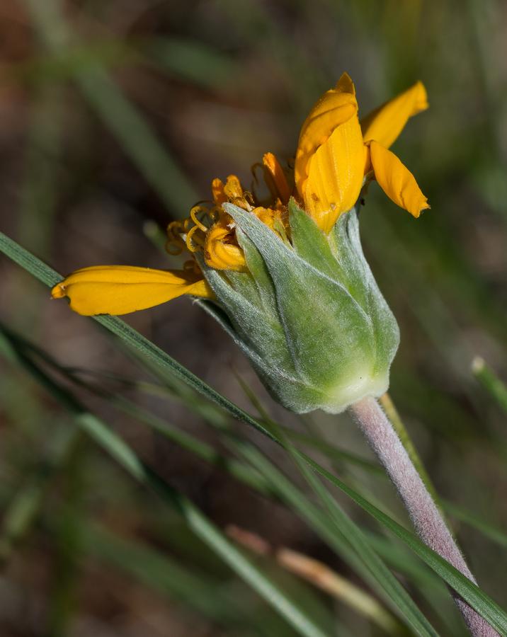 Balsamorhiza sericea