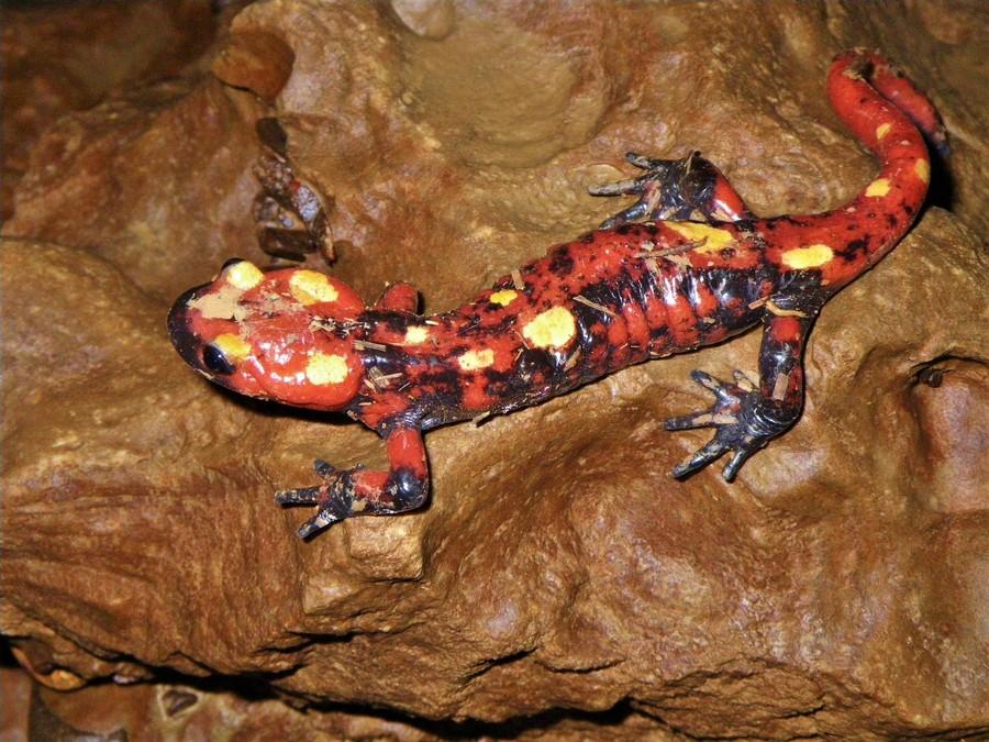 Salamandra a. atlantica