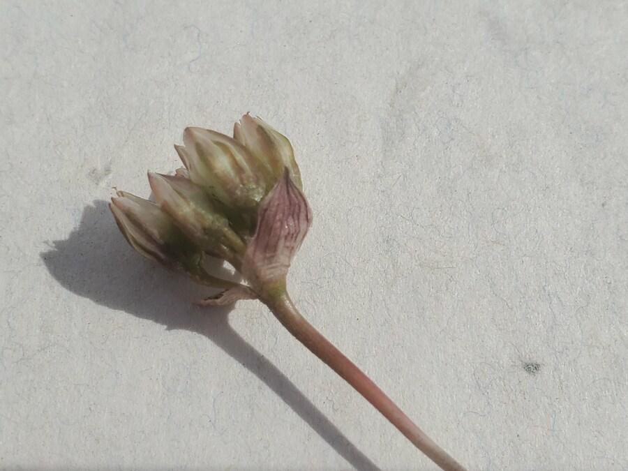 Allium punctum