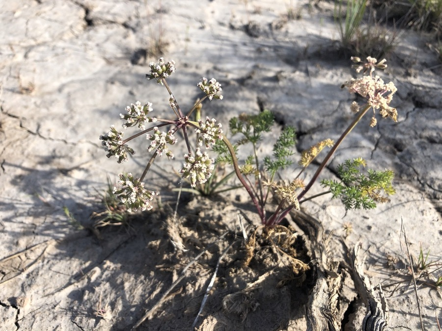 Lomatium ravenii var. ravenii