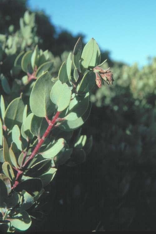 Arctostaphylos glandulosa ssp. adamsii