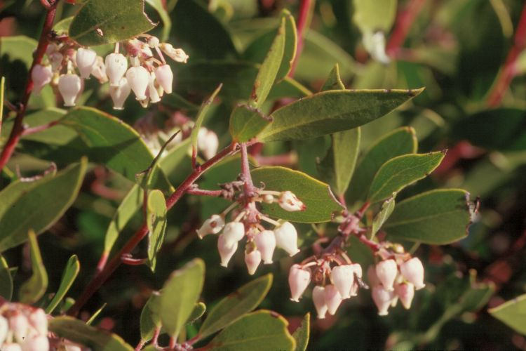 Arctostaphylos manzanita ssp. laevigata