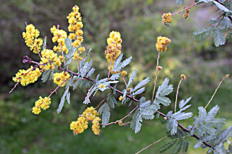 Acacia Baileyana Calflora