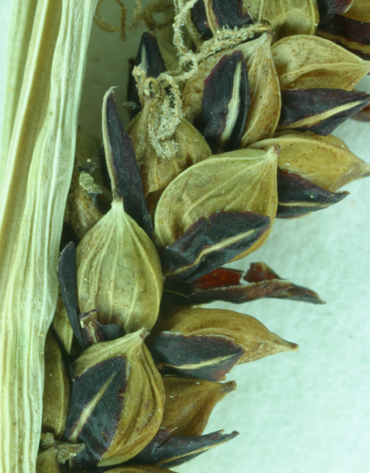 Carex angustata