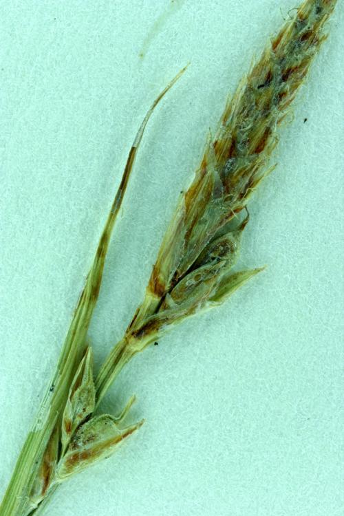 Carex brainerdii