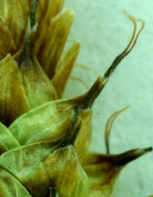 Carex capitata