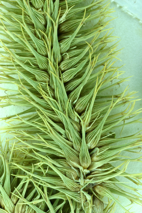 Carex comosa