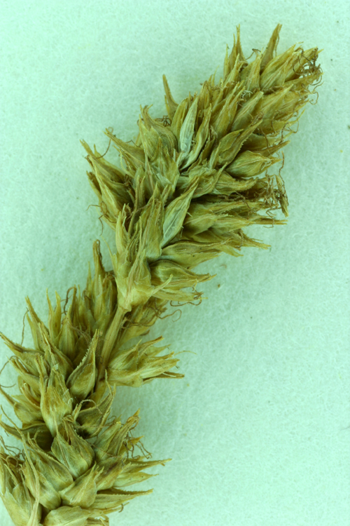 Carex dudleyi