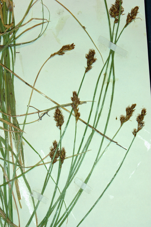 Carex integra