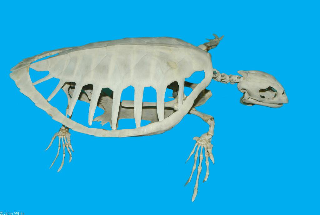 Tortugas marinas, libro en pdf de anatomía (inglés)