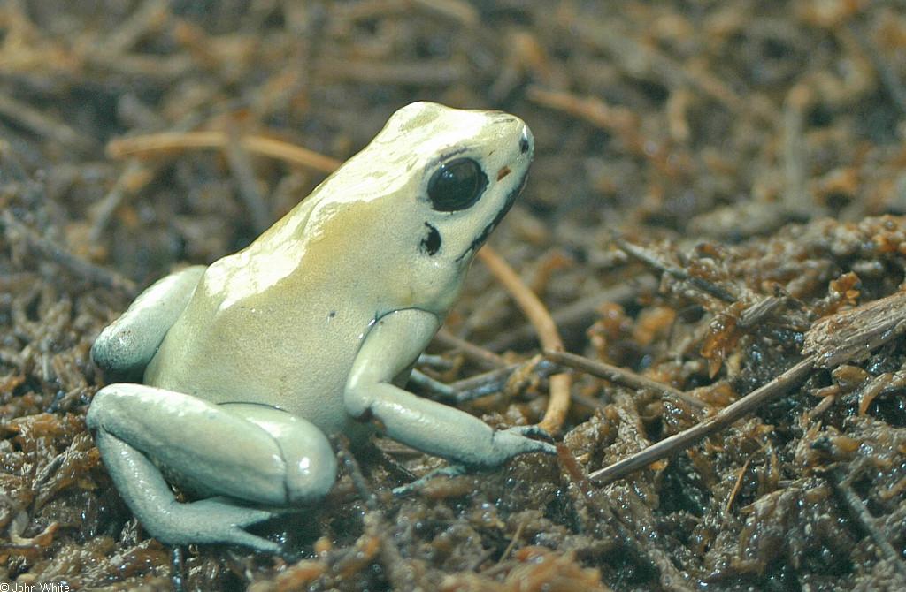 calphotos phyllobates terribilis golden poison frog