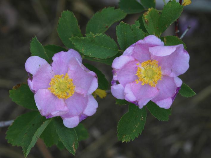 Rosa woodsii var. ultramontana
