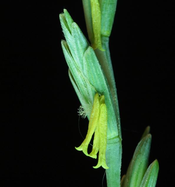 Elymus hispidus