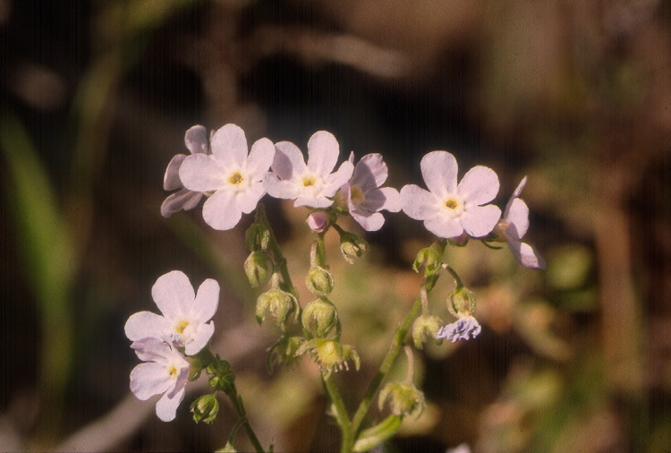 Hackelia cusickii