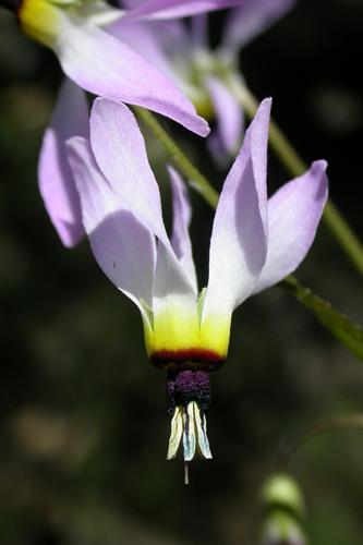 Primula clevelandii