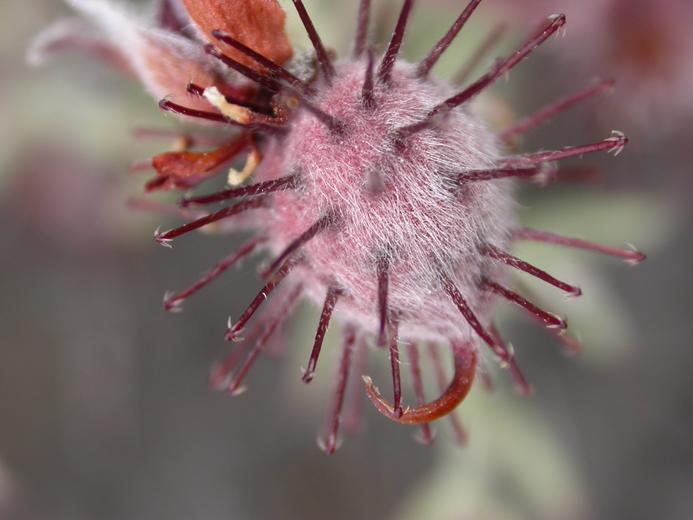 Krameria grayi