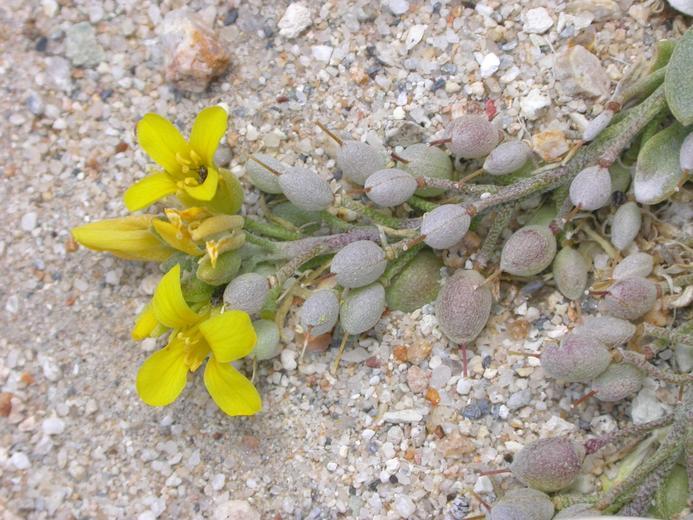 Lesquerella kingii ssp. latifolia