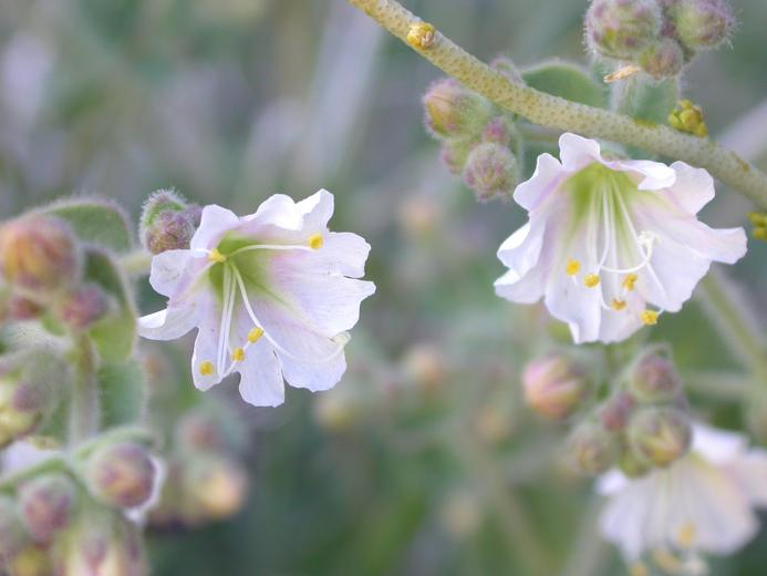 Mirabilis bigelovii