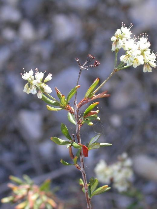 Eriogonum microthecum var. simpsonii