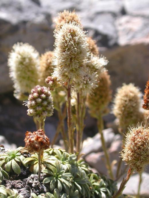 Petrophyton caespitosum ssp. caespitosum