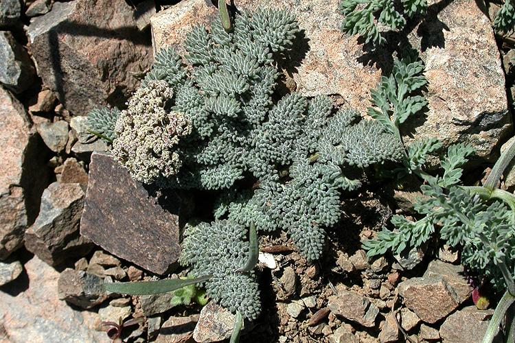 Lomatium ravenii