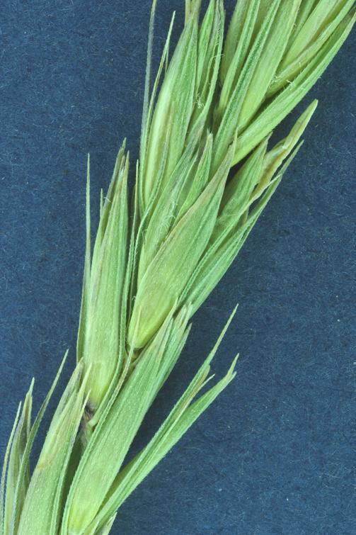 Leymus cinereus