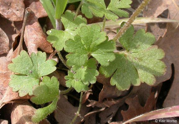 Lithophragma parviflorum var. parviflorum